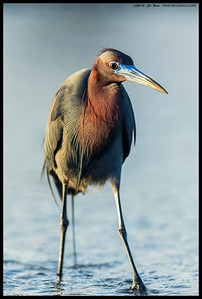 This Little Blue Heron was following the fish coming in with the tide.