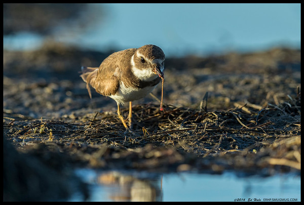 Semi-Palmated Plover enjoying some fine dining.