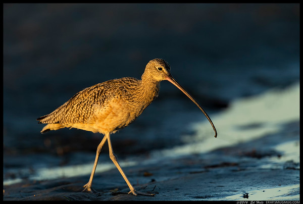 A Long Billed Curlew out for an evening stroll.