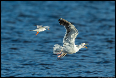 Forster's Tern wasn't too happy when this Western Gull decided to interrupt dinnertime.