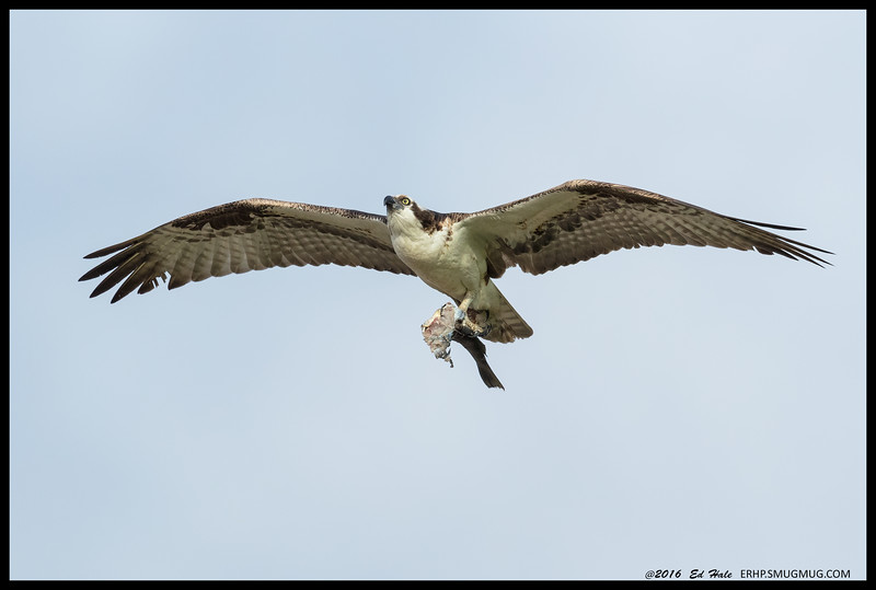 """Okay kids, who wants leftovers?""  Male Osprey bringing what was left of the fish he caught earlier over to the nest."