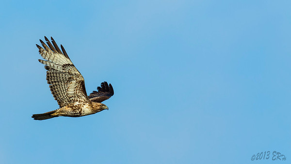A Red Tailed Hawk flies across the river basin
