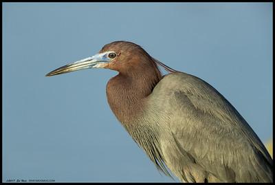Little Blue Heron pausing for a portrait.