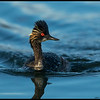 Eared Grebe chasing the fish down the river.