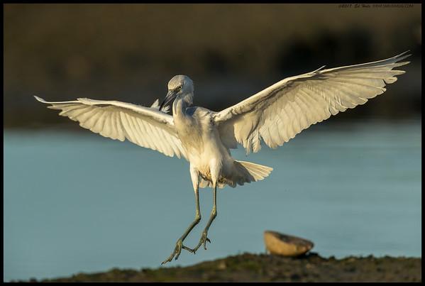 Juvenile Little Blue Heron just before touchdown.
