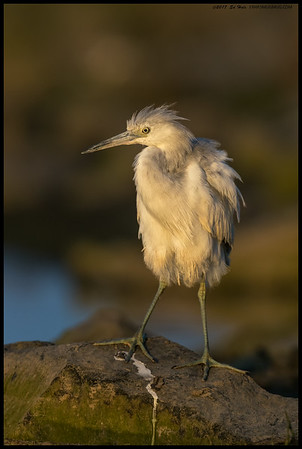 Juvenile Little Blue Heron took a moment out of preening in the setting sun's light to see what was making that clicking sound.