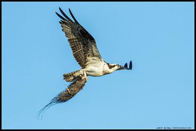 Momma Osprey on a nesting material run.