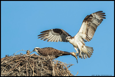 Male Osprey bringing a fish back to the nest.  Of course he made sure to carefully remove the head first.
