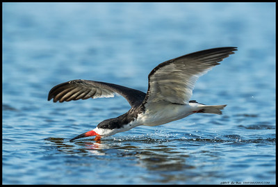 Black Skimmer passed in front my muddy seat tonight.