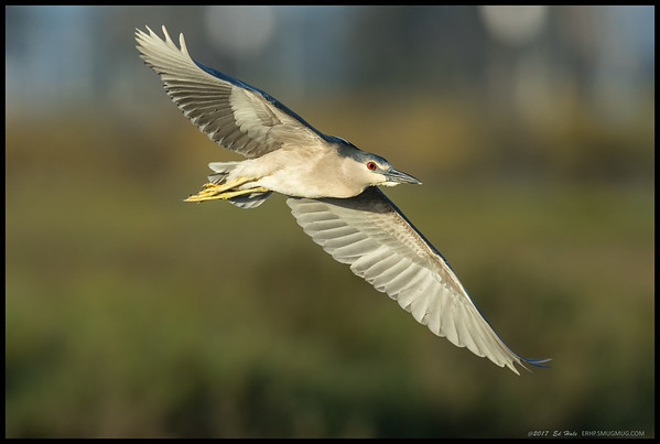Black Crowned Night Heron in flight after being disturbed by an 'under control' dog.