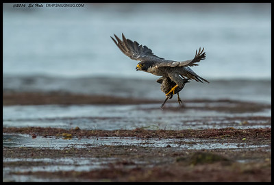Another shot of the Peregrine as it was starting to turn to leave the river channel.