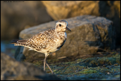 Black Bellied Plover on the hunt for snacks.