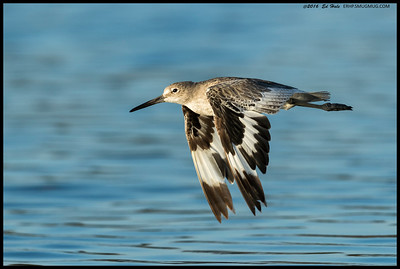 A nearby fisherman spooked this Willet into flight.