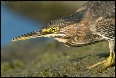 While I was sitting in the mud, I got to watch this Green Heron(same one from Famosa) get closer and closer as it hunted for snacks.  At one point it was about 5' away so I just watched it between the lens and gimbal head.