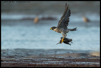 I missed the crash/kill moment but did get to watch this Peregrine Falcon sit on the mudflat with its prey, a Short Billed Dowitcher, before taking off for a more secluded dining spot.
