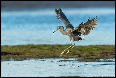 Juvenile Little Blue Heron looking for a better fishing spot.  This one has almost completely molted from white to the dusky blue.