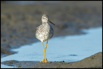 Greater Yellowlegs doing its version of the catwalk.