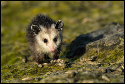 A little Opossum foraging along the river banks in the late afternoon light.