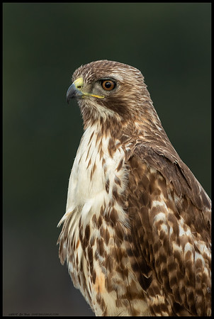 Probably the same young Red Tailed Hawk I caught with the squirrel last week, but this time posing for the camera.
