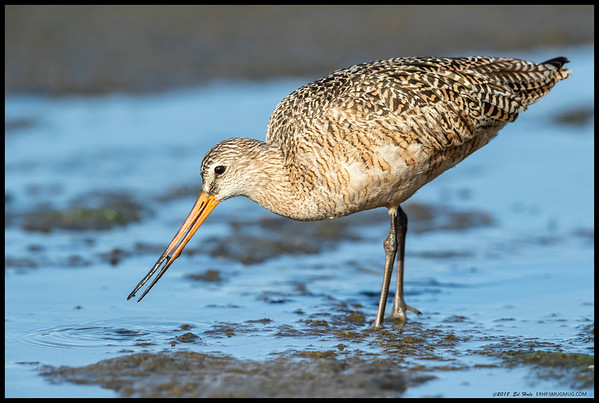 A Marbled Godwit, unconcerned about how close its feeding was taking it towards me.