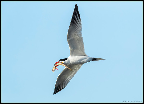 A Forster's Tern with a not so happy looking fish.