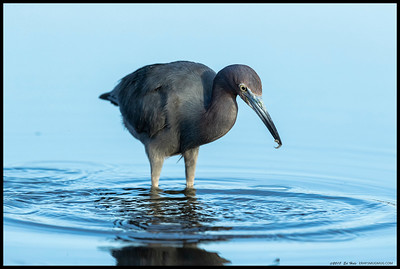 Little Blue Heron with a 'fish story' to tell everyone.