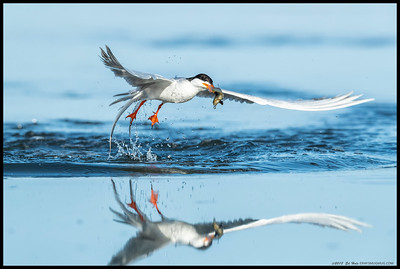 Forster's Tern showing off its catch as it takes off from the water.