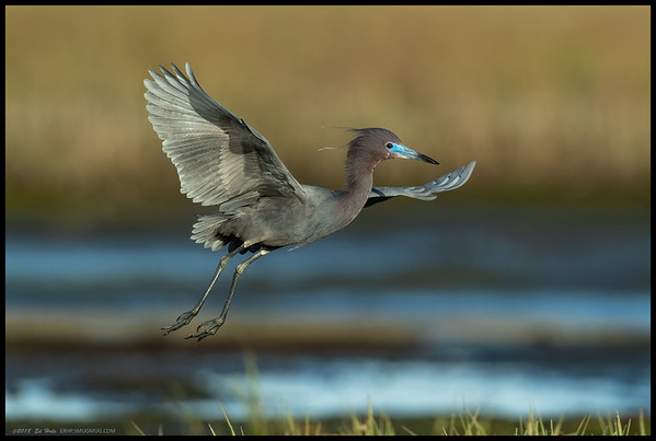 One of the Little Blue Herons showing off the breeding colors during the early morning light.