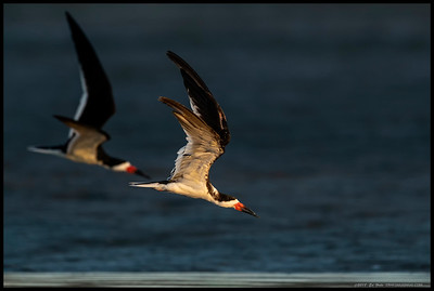 Black Skimmers heading down to the water with Junior in the lead.