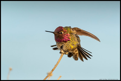 Jewel of the San Diego River.  Doesn't have quite the same ring to it but I couldn't pass up getting a few shots of this cooperative male Anna's Hummingbird flashing.