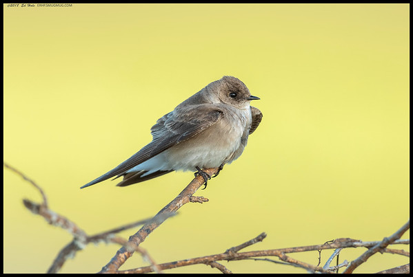 A Northern Rough-winged Swallow taking a break.