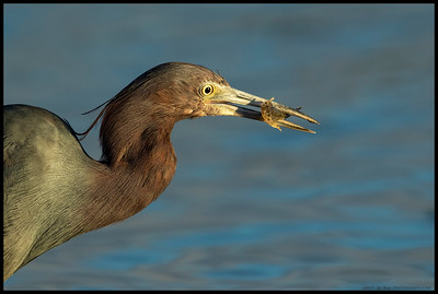 'You look like dinner'  Little Blue Heron with a snack.
