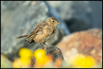 A fluffy American Pipit posing atop of some rocks behind the blooms.