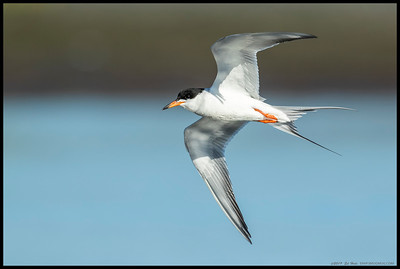 One of the Least Terns on a fly-by.
