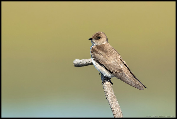 One of the pair of Rough Winged Swallows that decided to take a break in front of the camera.