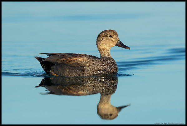 A male Gadwall was serenely gliding across the still waters of the San Diego River.
