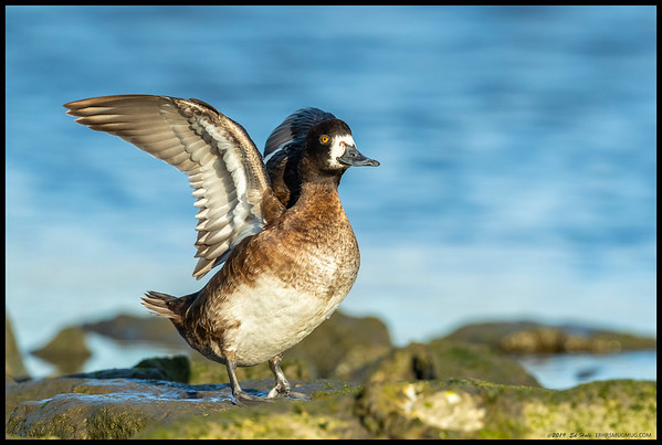 A female Lesser Scaup stretching in the afternoon light.