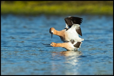 A pair of mating American Avocets in the late afternoon light.