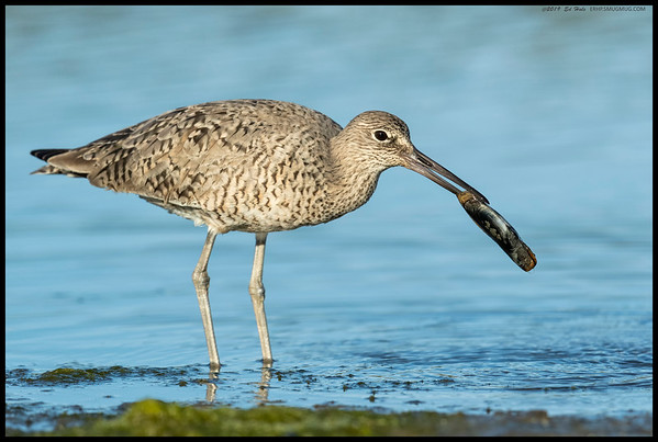 A Willet brought its to-go box over to front of the camera before opening it.