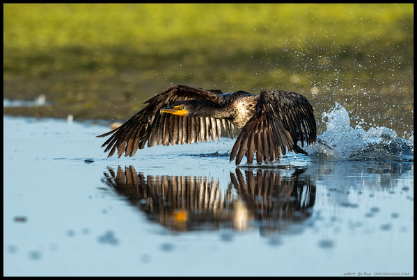 A Double Crested Cormorant taking off from the marsh on the San Diego River.