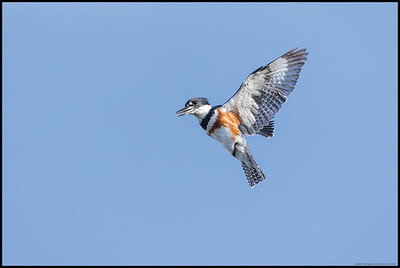 Female Belted Kingfisher hovering and looking for breakfast.