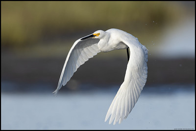 A Snowy Egret taking off for a better fishing spot.