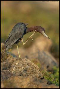 Is it an itch or deep thoughts?  Little Blue Heron perched atop one of the rocks lining the San Diego River.
