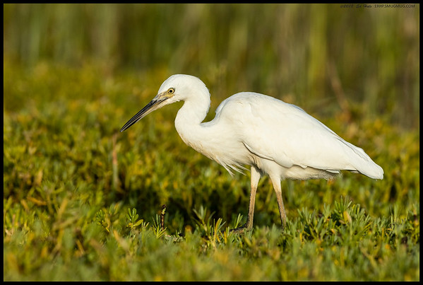 A juvenile Snowy Egret posed for me on a rock then went bug hunting.