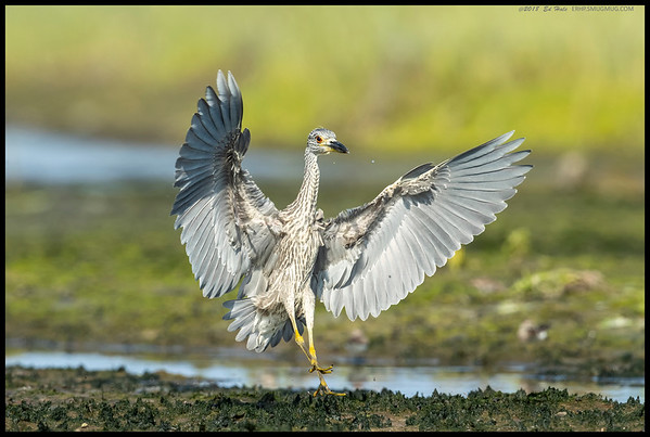 A juvenile Yellow Crowned Night Heron coming in for a landing after being spooked by a dog at the far end of the lagoon.
