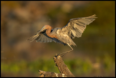 Got to spend some time with our local juvenile Reddish Egret in the late afternoon light.  It had preened a bit on the lower section of the snag then decided to hop up to the highest point.