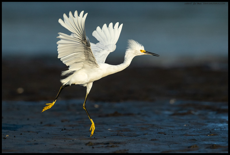 Snowy 'McGrouch' Egret was busy chasing on another egret on its turf but couldn't decided whether to land or keep chasing the intruder away.