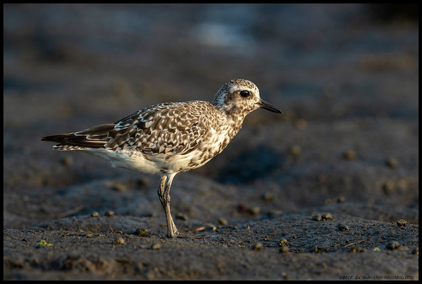 One of the returning Black Bellied Plovers showcasing the in between stages of coloration.  Another still in breeding plumage was careful to stay just out of the detail range I try to achieve.