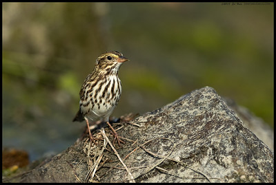A Savannah Sparrow hopped up on a rock to survey the nearby area for snacks.