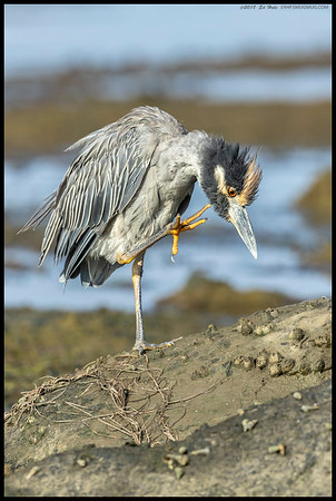Itchy Yellow Crowned Night Heron.